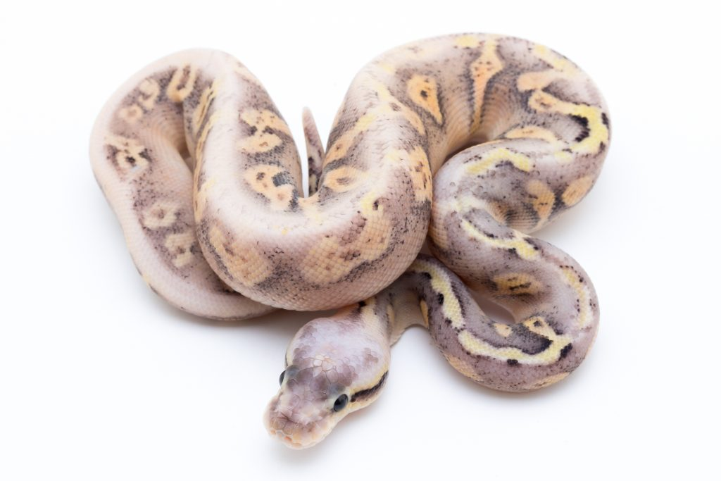 Super Pastel Yellowbelly Fader Cinder Ball Python