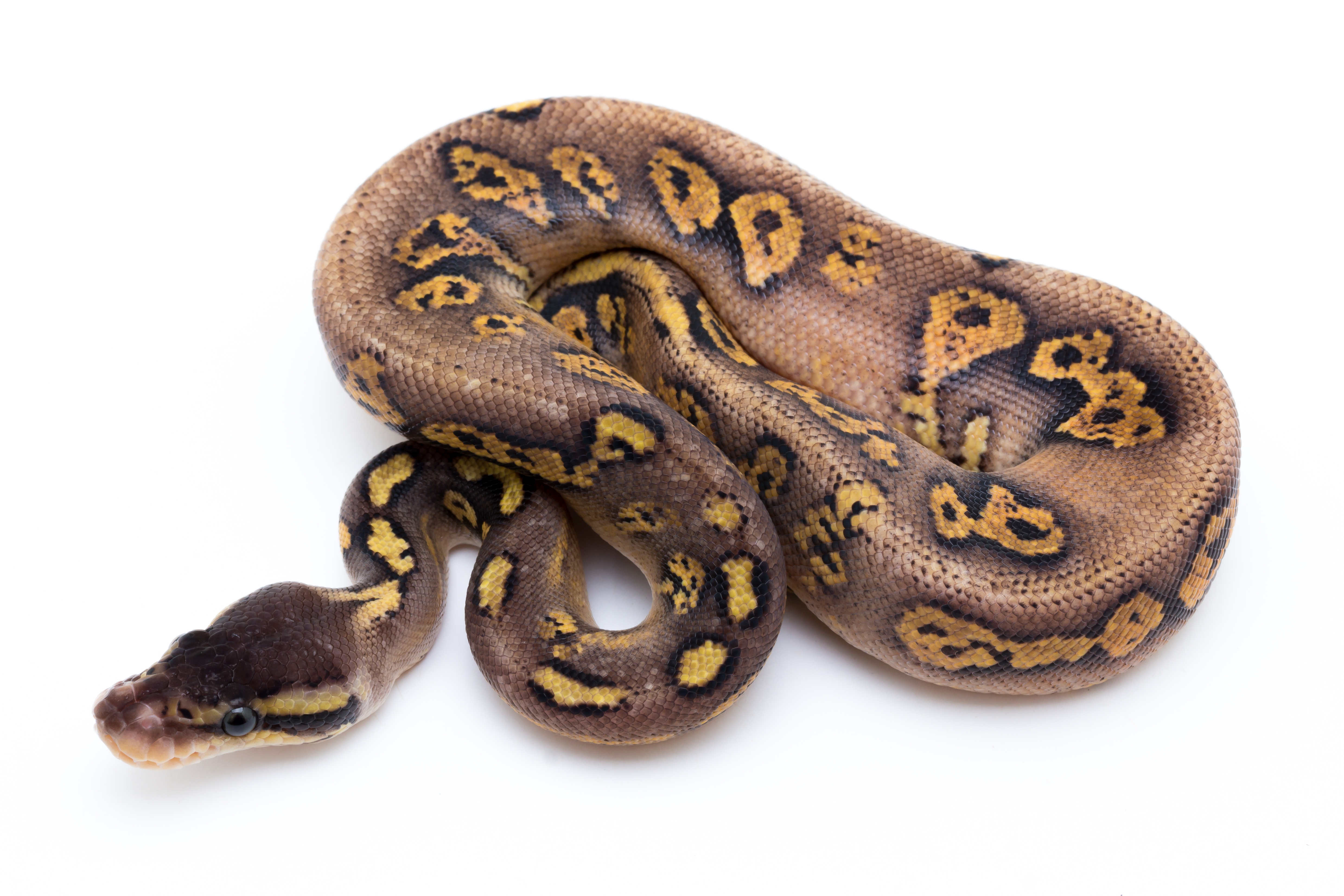 Pastel Yellowbelly Fader Cinder Ball Python