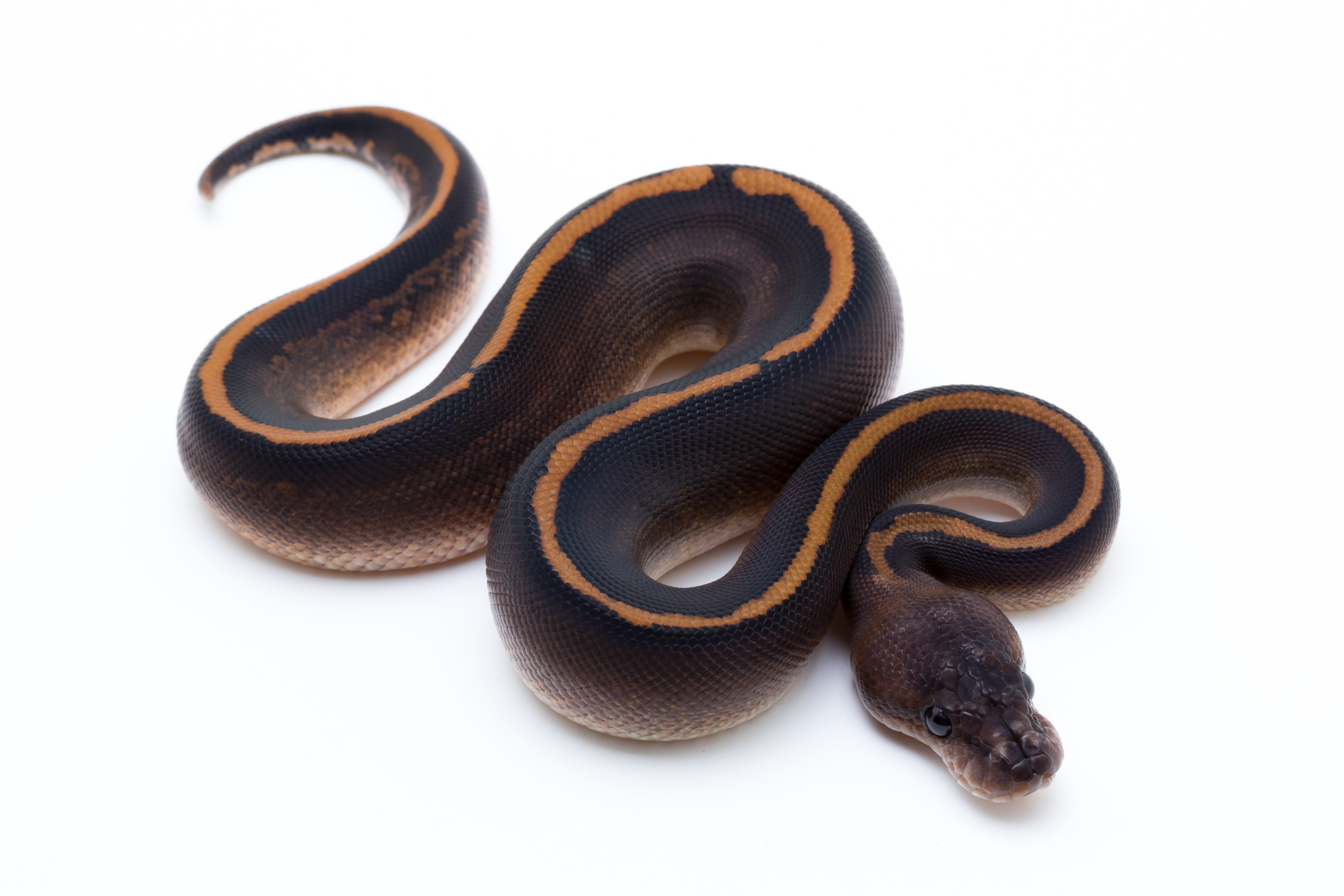 Red Stripe Black Pastel Cinder Ball Python