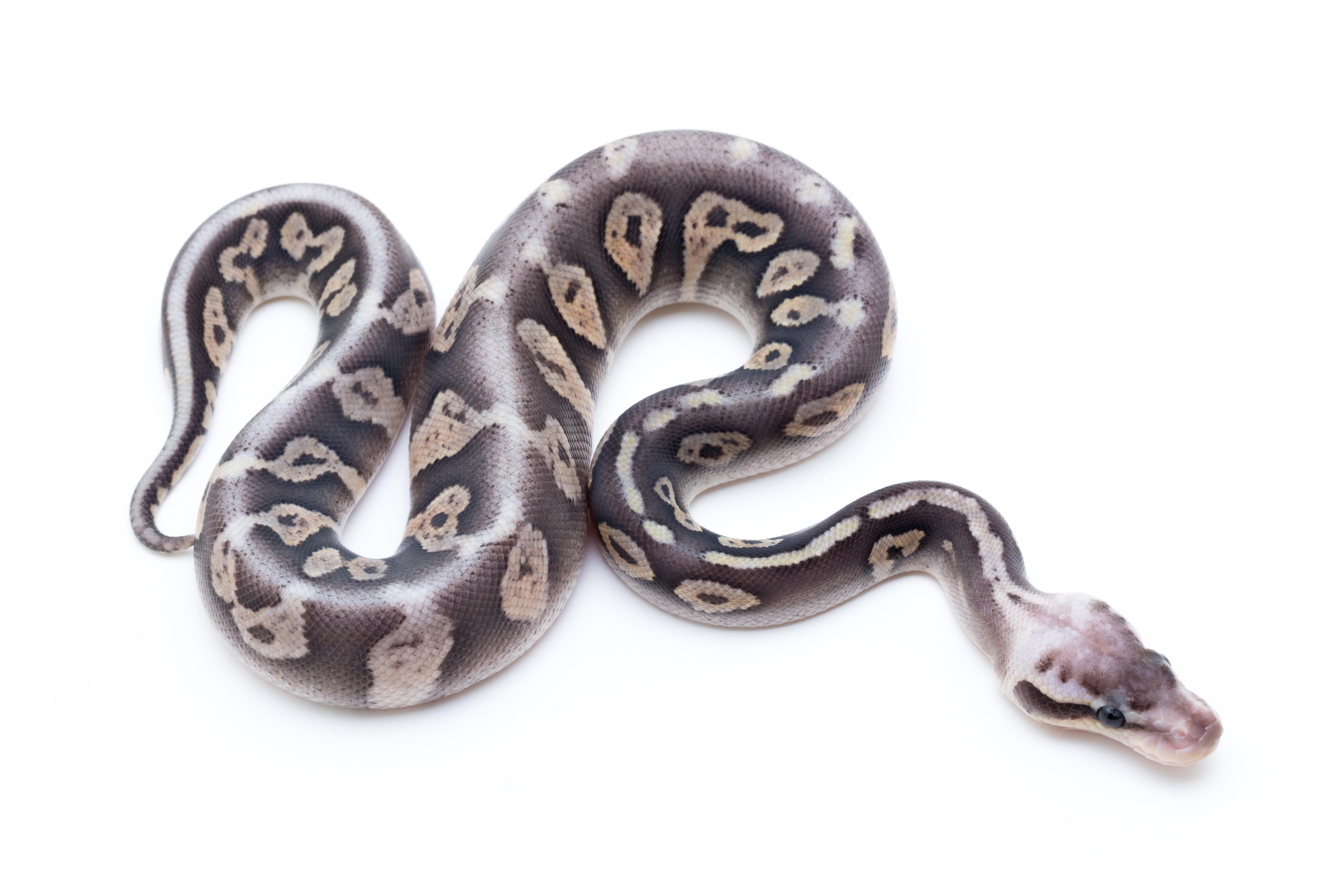 Super Pastel Fader Cinder Ball Python