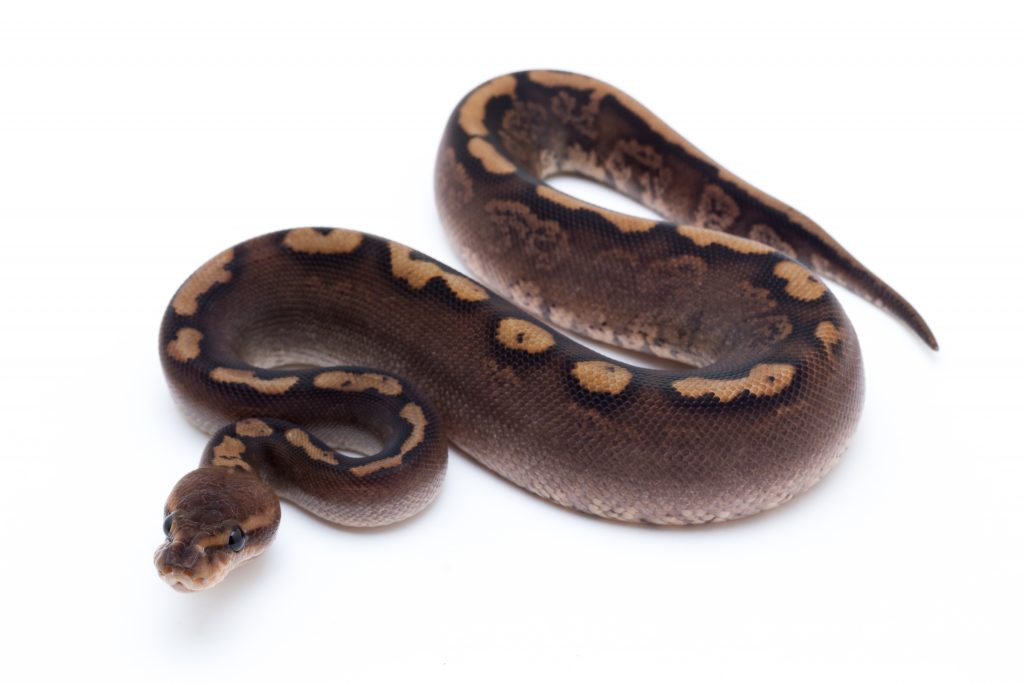 Black Pastel Woma Cinder Ball Python