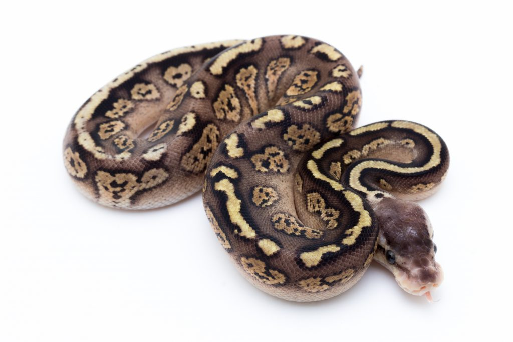 Pastel Cinder Ball Python