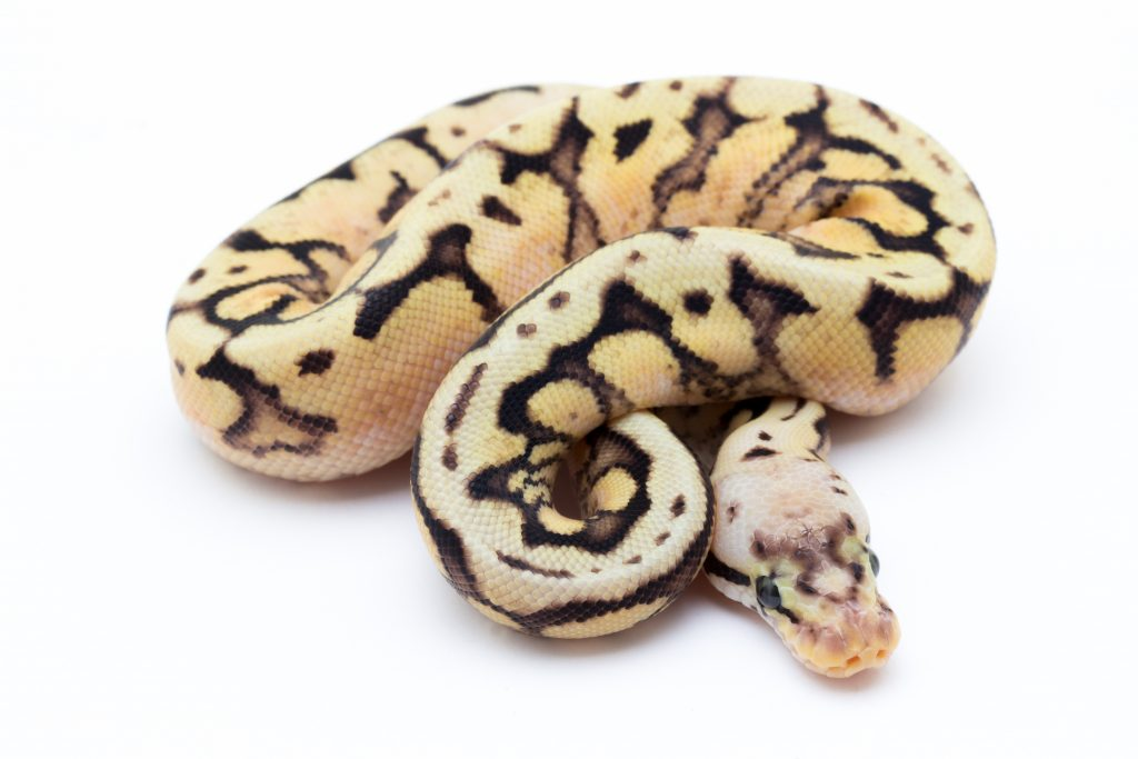 Bumblebee Yellowbelly Cinder Ball Python