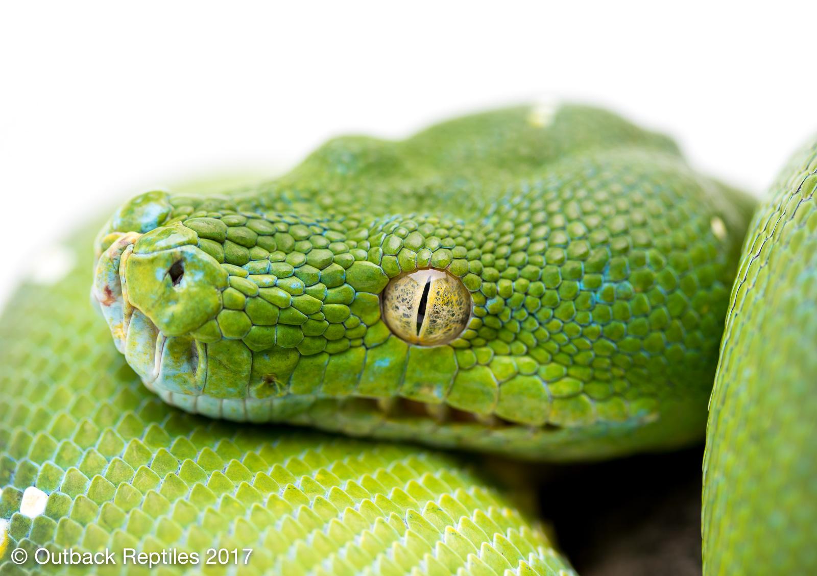 - Morelia viridis