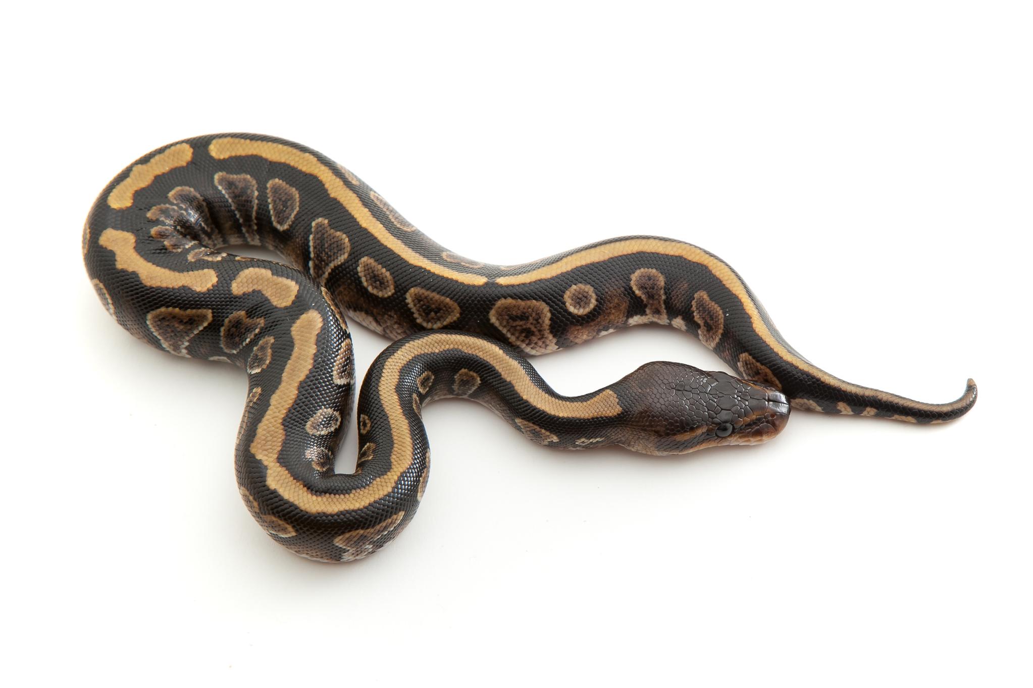 Cinder Ball Python