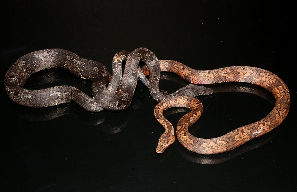 Indonesian Tree Boa - Candoia carinata