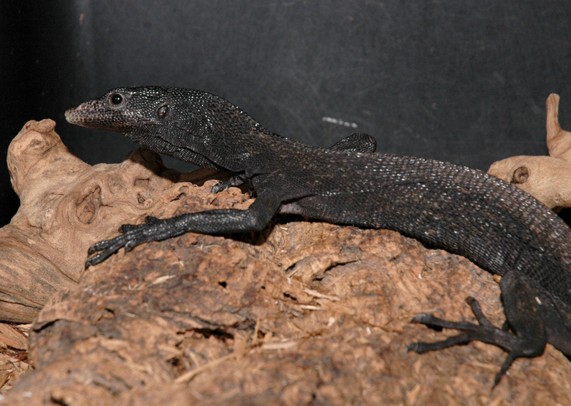 Black Tree Monitor - Varanus beccari