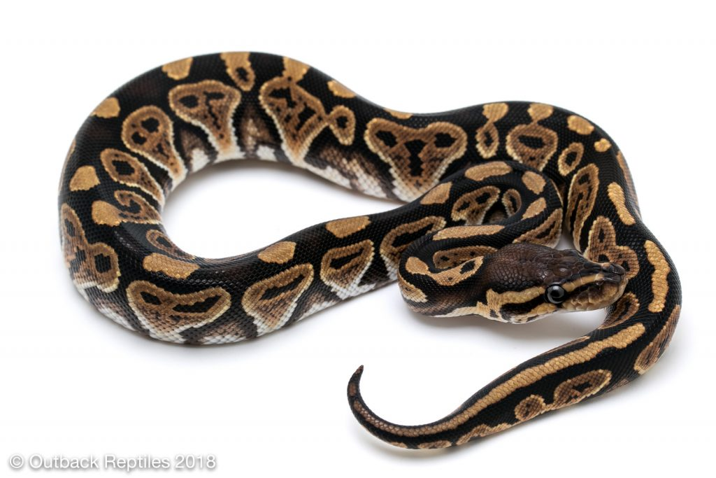 Jolt (Whiplash Ball Python Project)