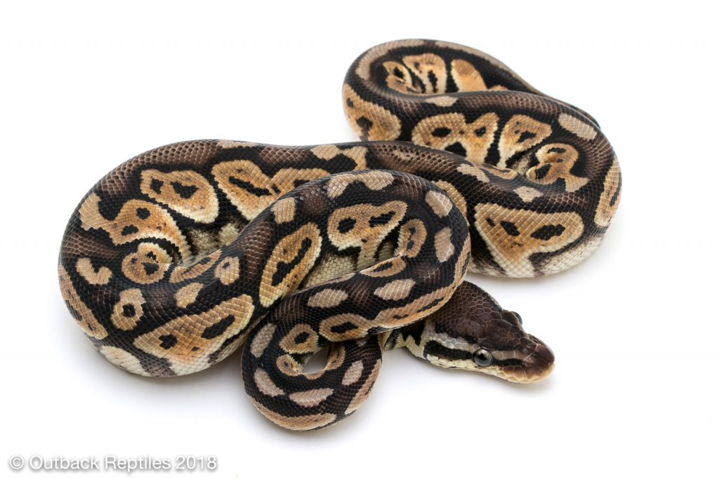 Jolt Pastel (Whiplash Ball Python Project)