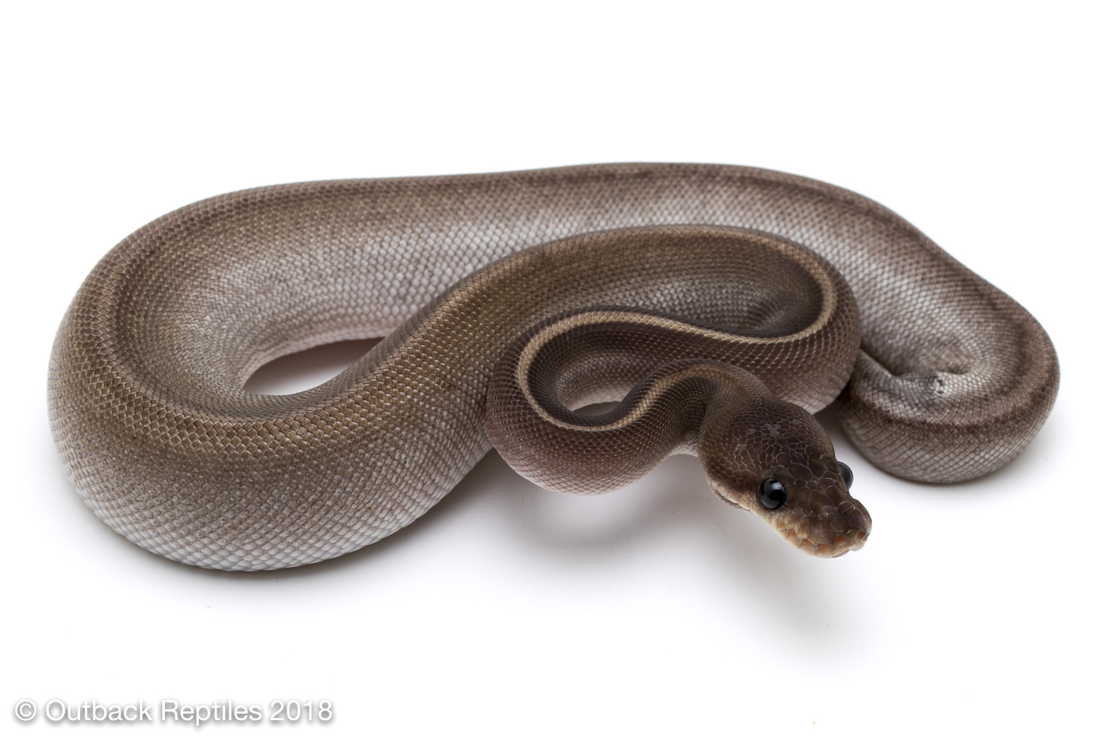 Mojave Whiplash Ball Python