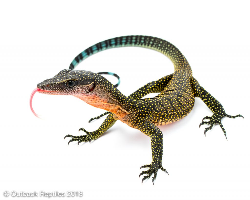 Peach Throat Monitor - Varanus jobiensis