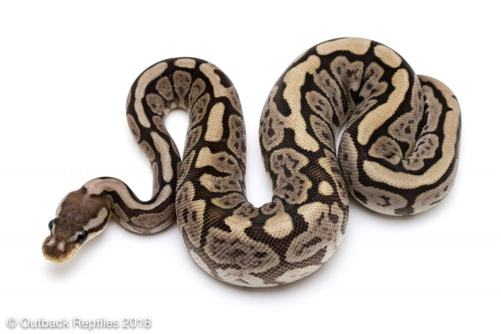 Spider Whiplash Ball Python