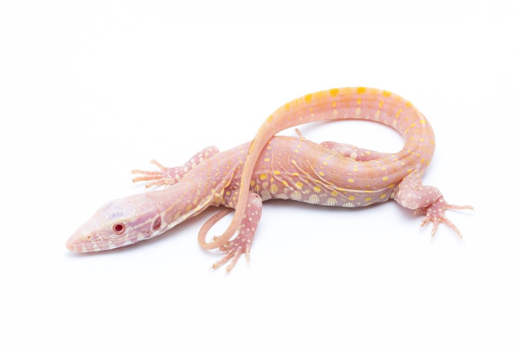 Albino Nile Monitor - Varanus niloticus albino