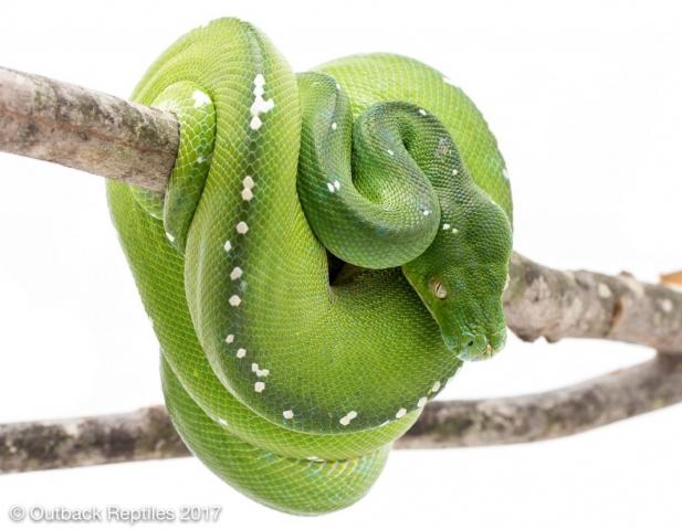Aru Green Tree Python - Morelia viridis