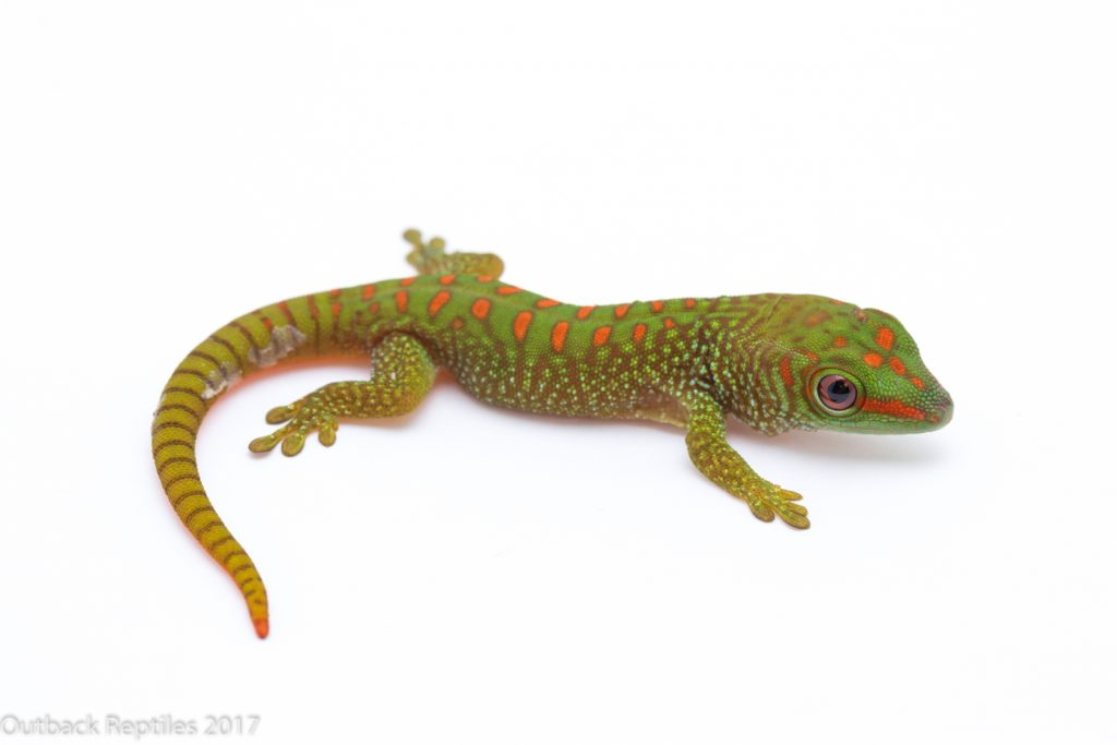 Baby Madagascar Giant Day Gecko