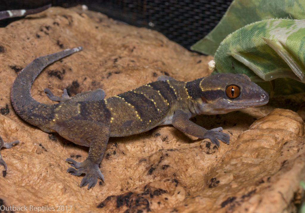 Forest Banded Gecko - Hemidactylus fasciatus