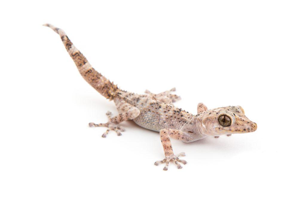 Mocquard's Ground Gecko - Paroedura bastardi