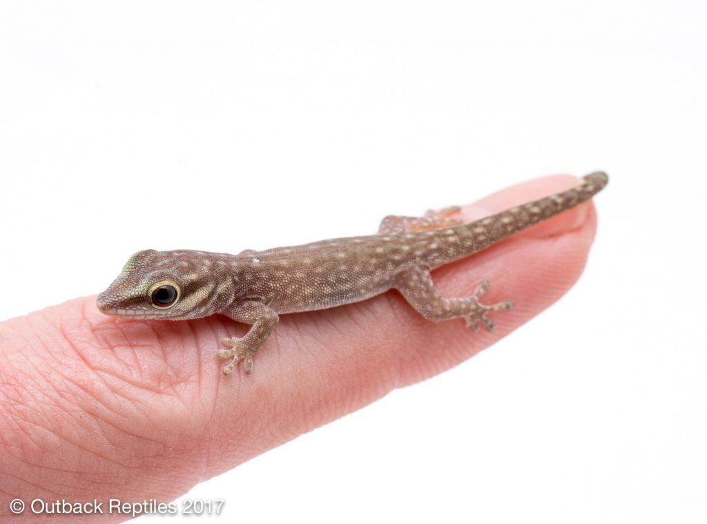 Baby Day Gecko - Phelsuma abbotti chekei