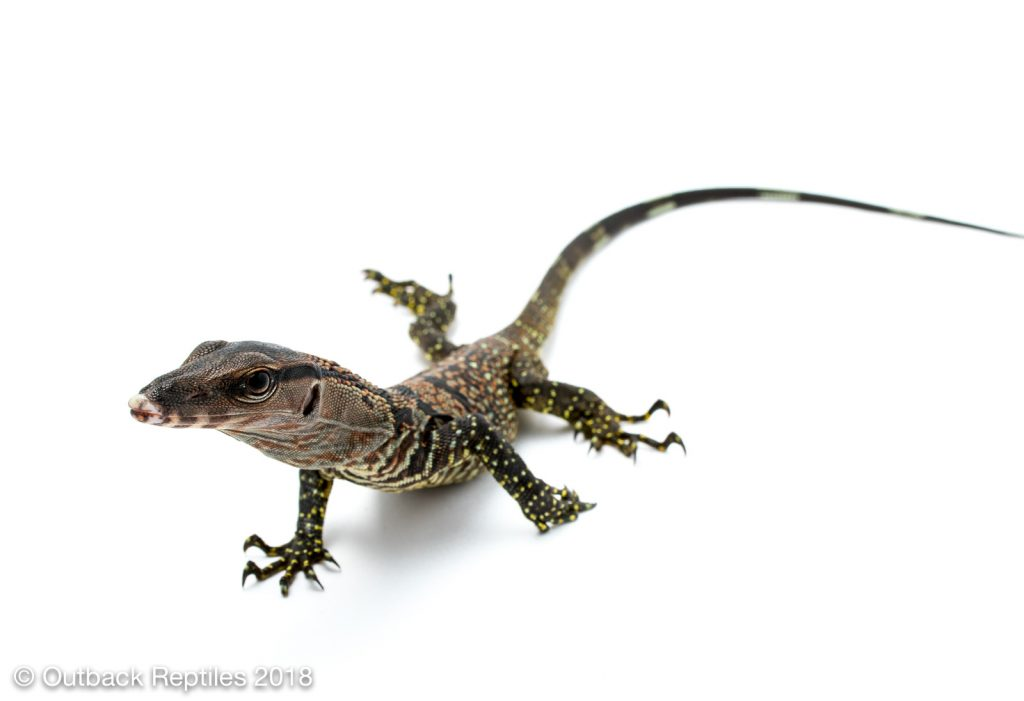 Black Rough Neck Monitor - Varanus rudicollis