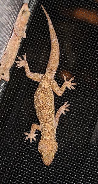 West African Brooks Gecko - Hemidactylus brookii