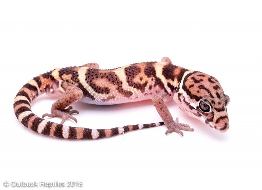 Central American Banded Gecko  - Coleonyx mitratus