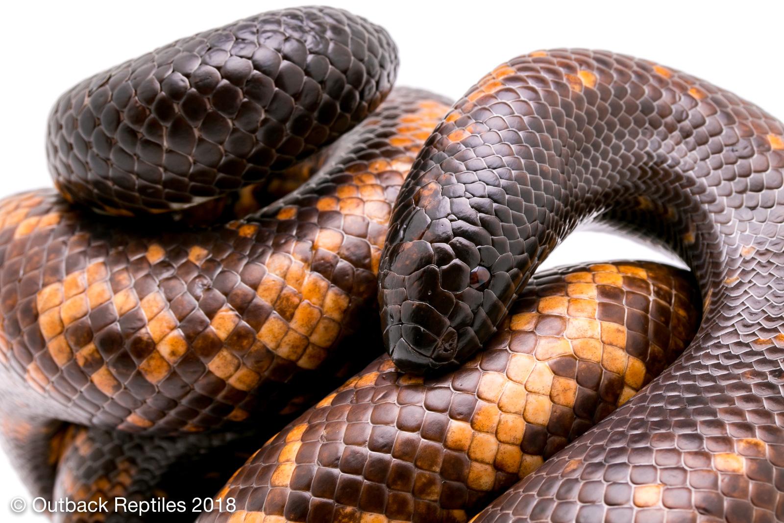 Calabar Burrowing Python