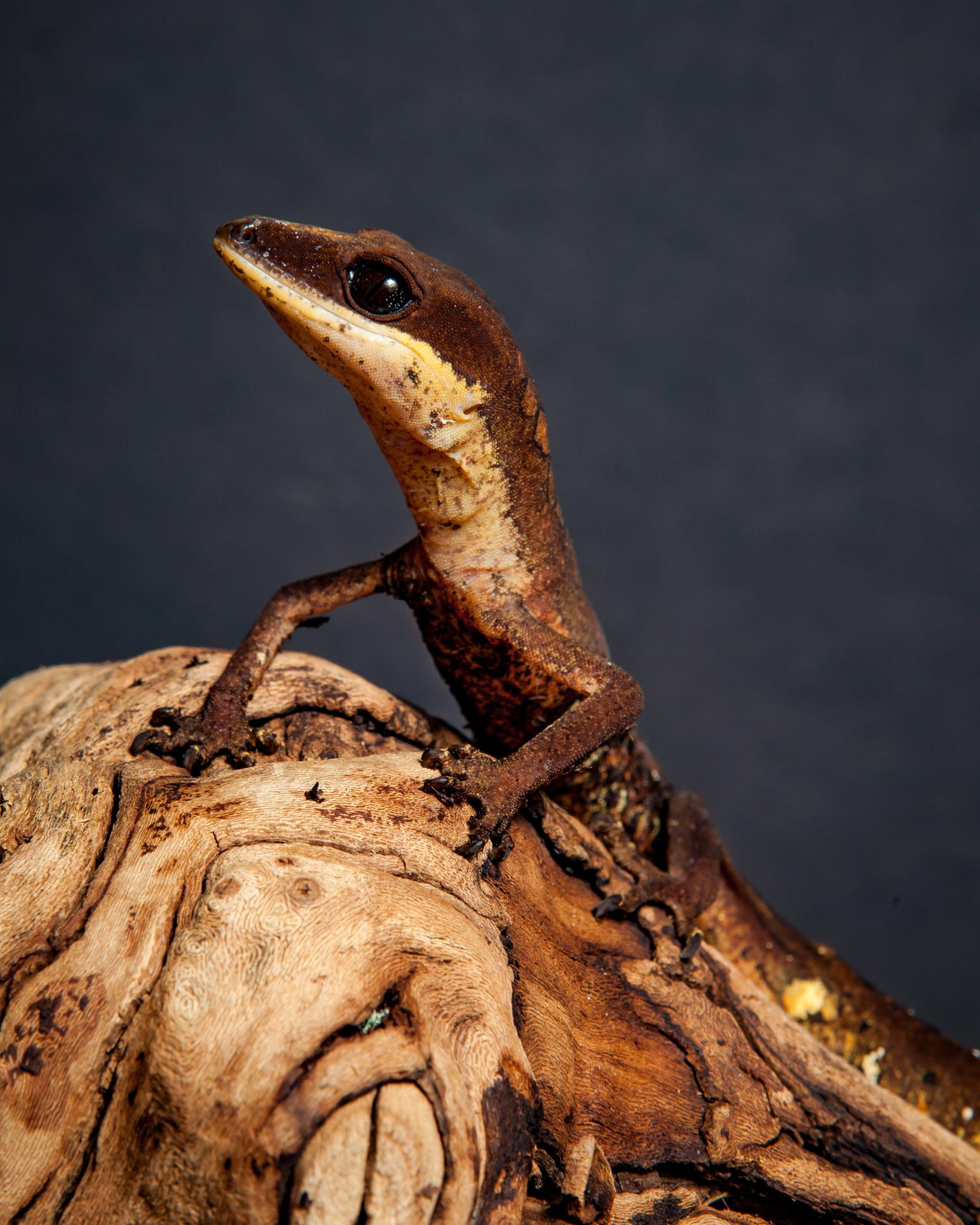 Cat Gecko - Aeluroscalabotes felinus
