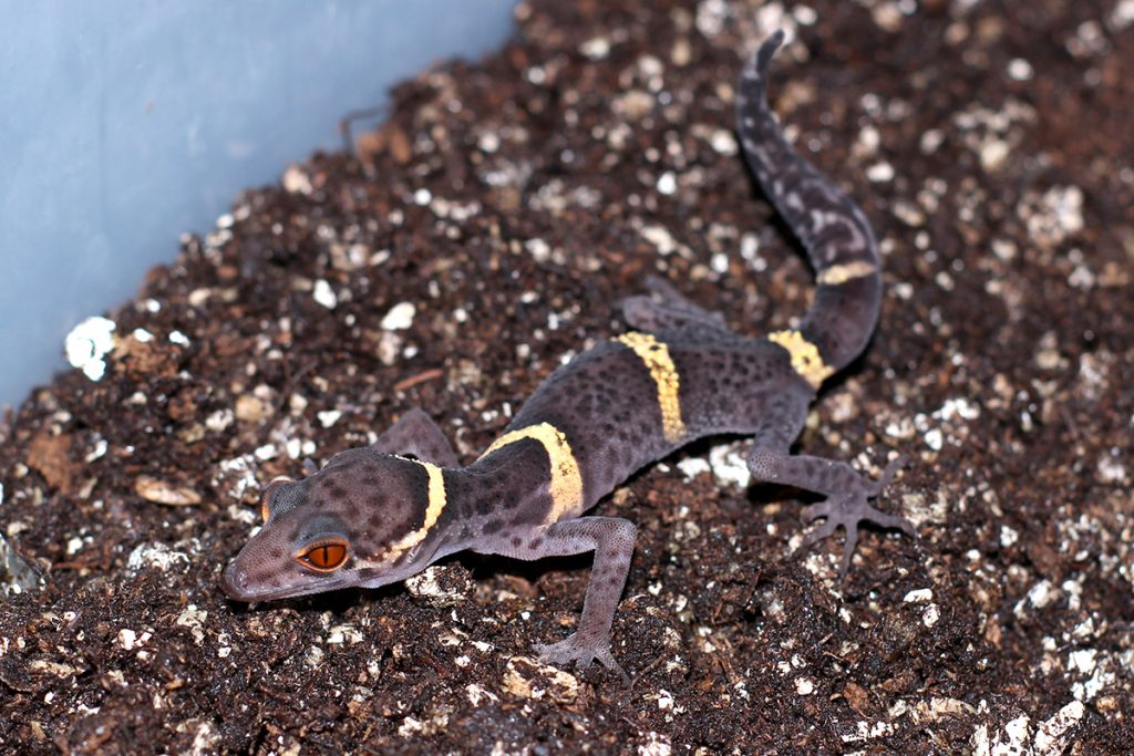 Chinese Cave Gecko - Goniurosaurus hainanensis