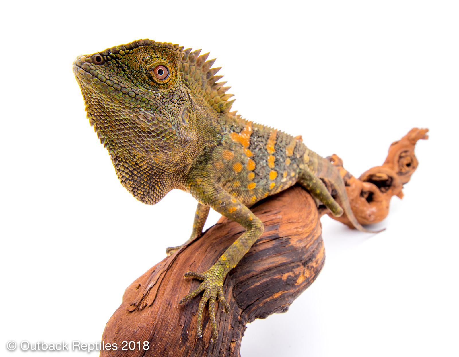 Wide Angle lens for reptile photography