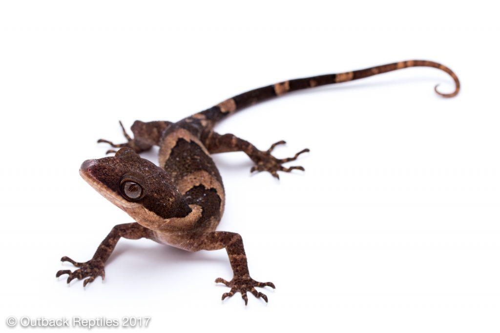 Bent Toed Gecko - Cyrtodactylus irianjayensis