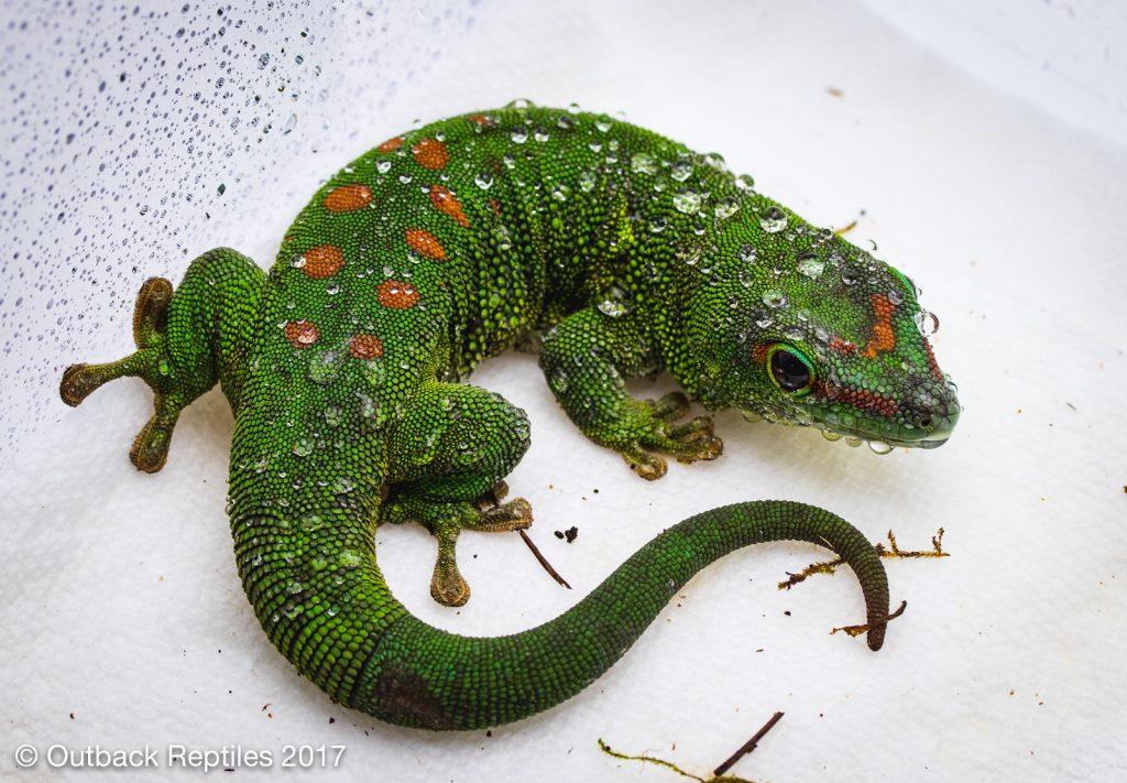 Giant Day Gecko