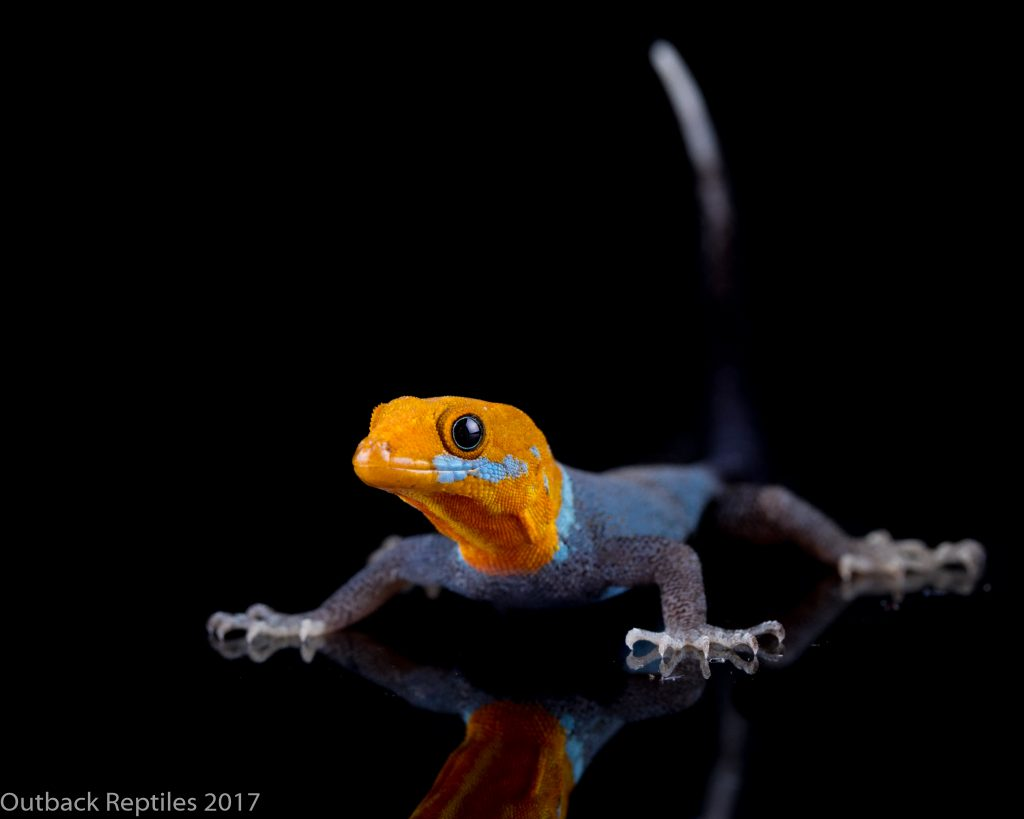 Male Yellow Headed Dwarf Gecko - Gonatodes albogularis