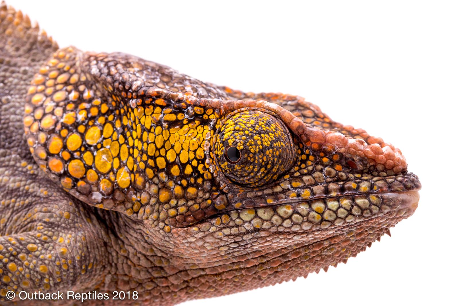Elephant Ear Chameleon for sale