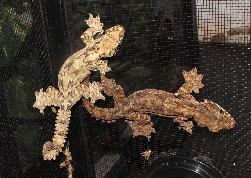 Flying Gecko - Ptychozoon kuhli