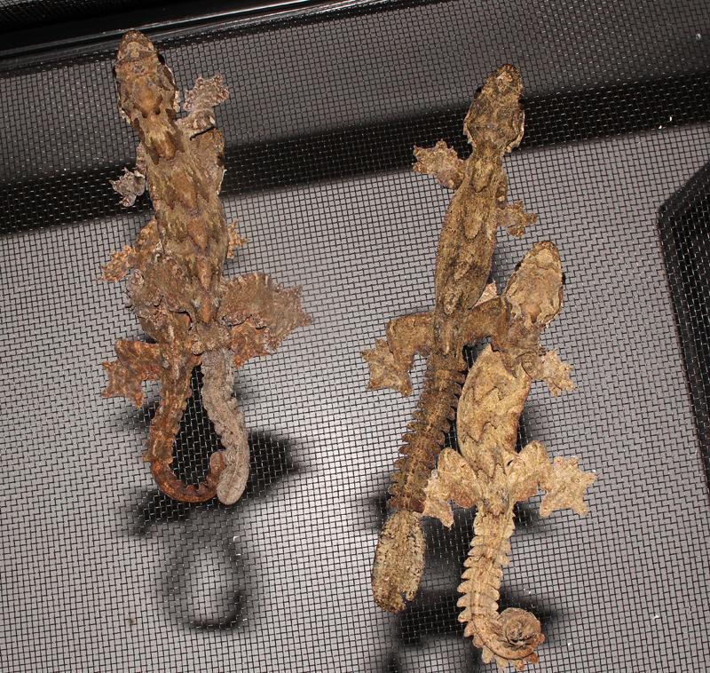 Flying Gecko - Ptychozoon kuhli
