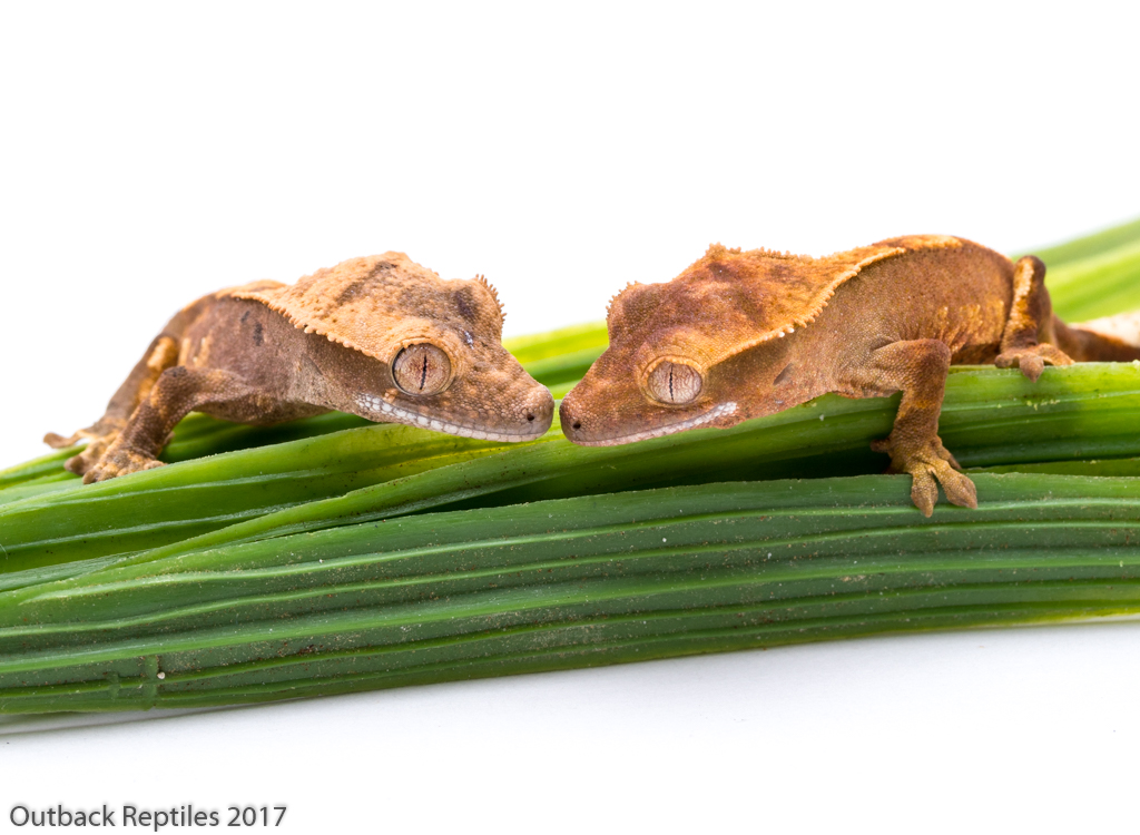 Buy Crested Geckos