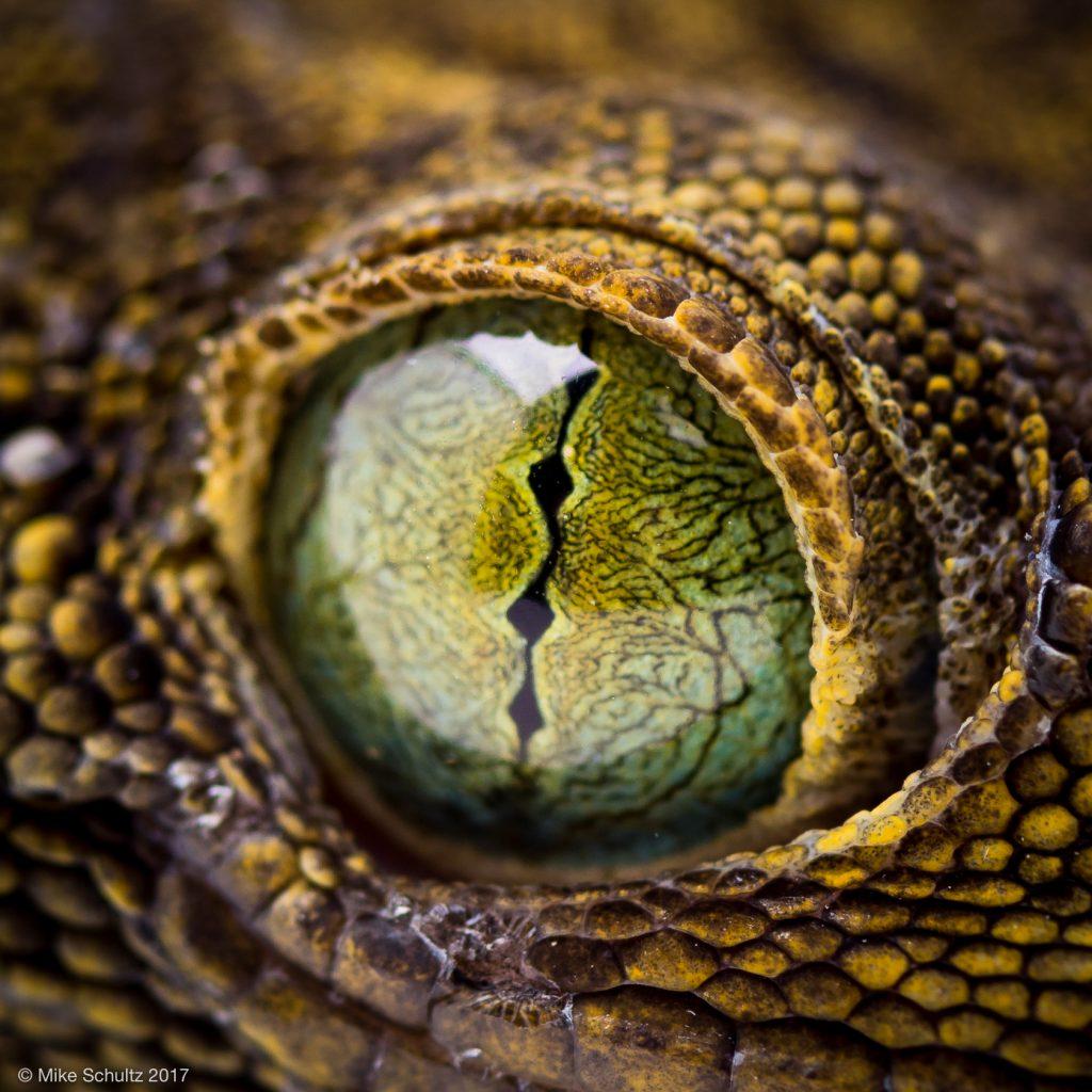 Green Eyed Gecko - Gecko smithi
