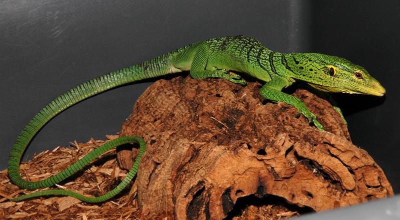 Green Tree Monitor - Varanus prasinus