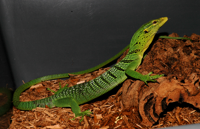 Green Tree Monitor - Varanus prasinus