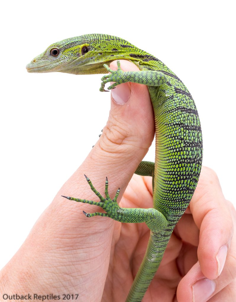 Baby Green Tree Monitor - Varanus prasinus
