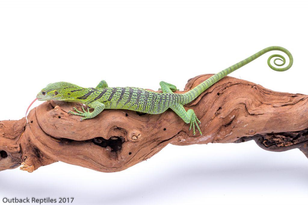 Baby Green Tree Monitor - Varanus prasinus
