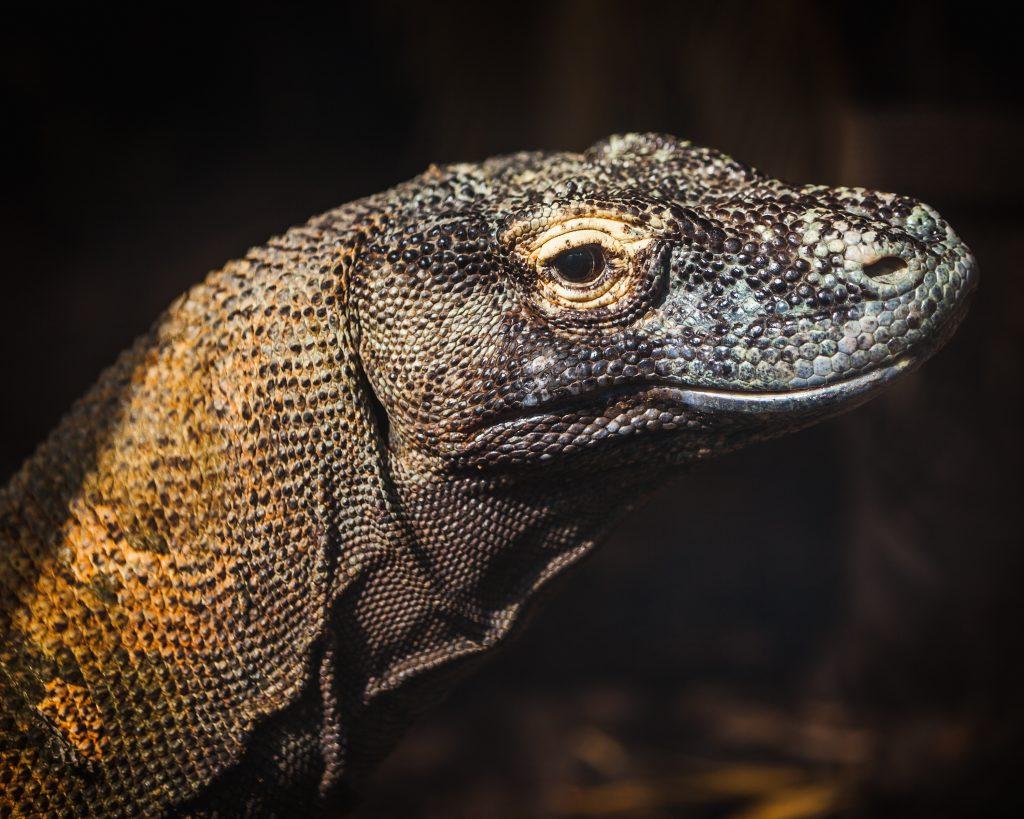 Komodo Dragon - Varanus komodoensis