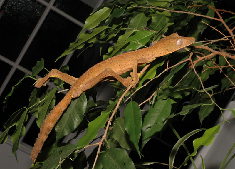 Lined Leaf Tailed Gecko - Uroplatus lineatus