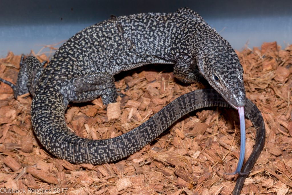 Purple Mangrove Monitor