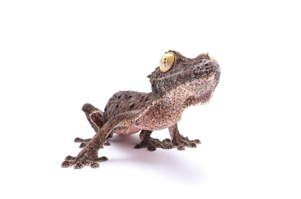 Mossy Leaf Tailed Gecko - Uroplatus sekorae