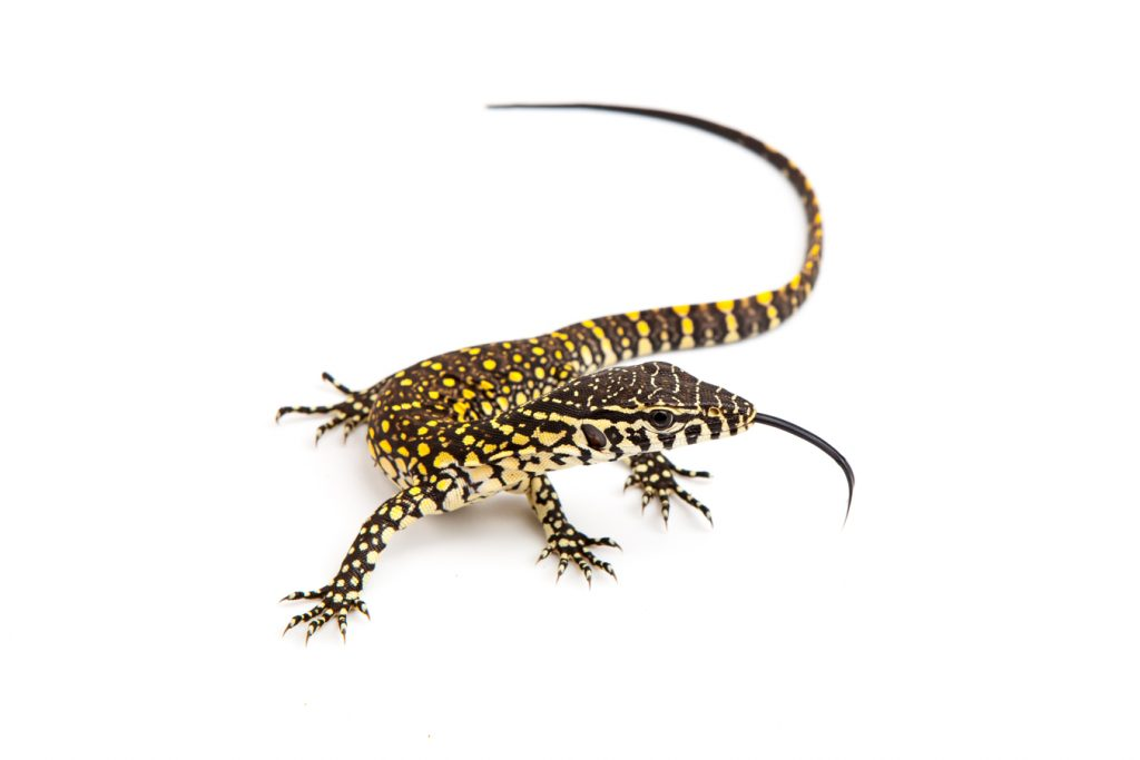 Baby nile monitor for sale
