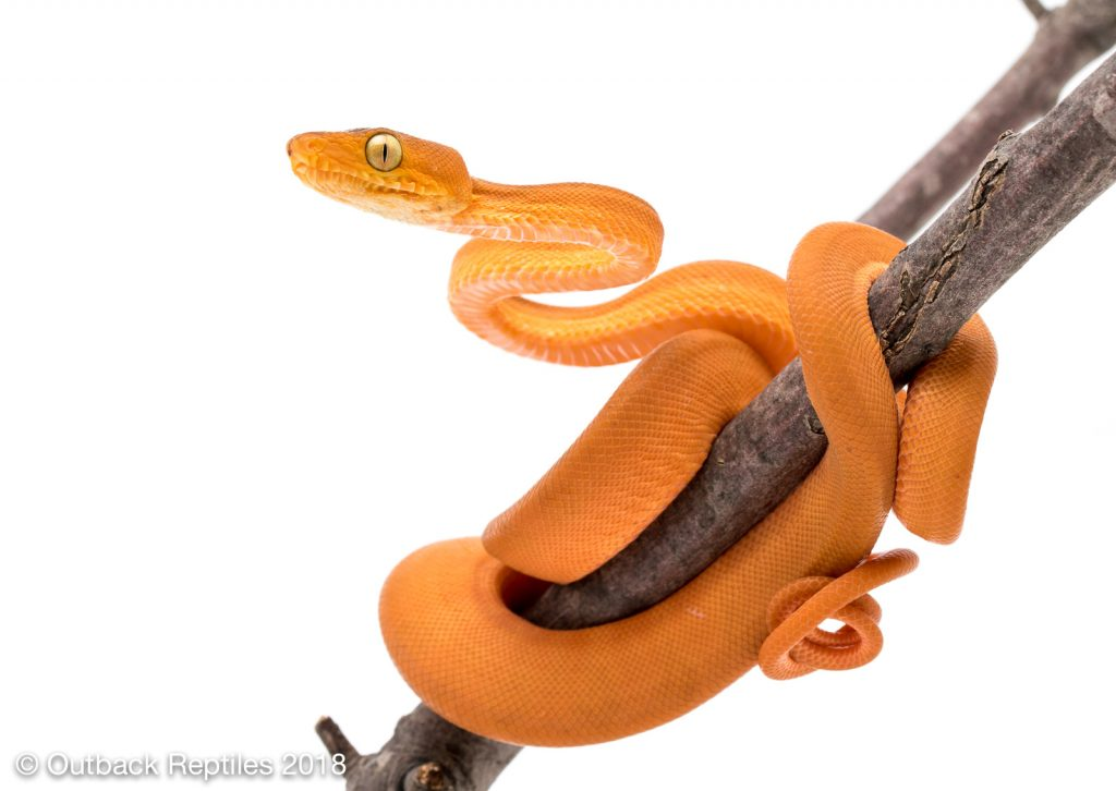 Orange Amazon Tree Boa