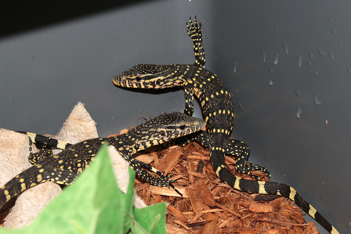 Baby ornate nile monitors for sale