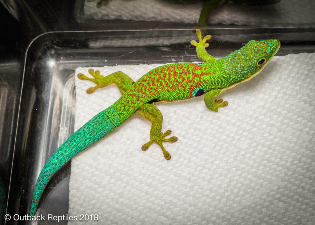 Peacock Day Gecko - Phelsuma quadriocellatus