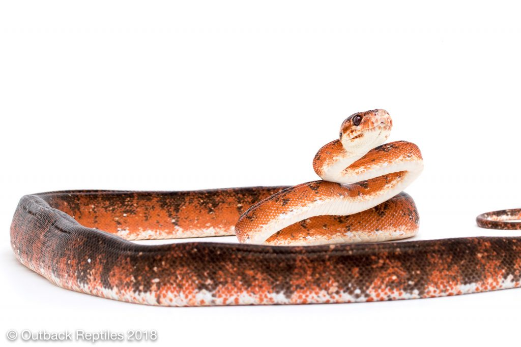 Red Amazon Tree Boa Calico